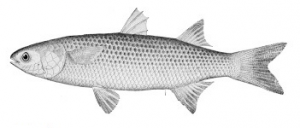 Abramis(avroma) a fish indigenous to the Nile River. It may refer to a kind of bream or mullet.