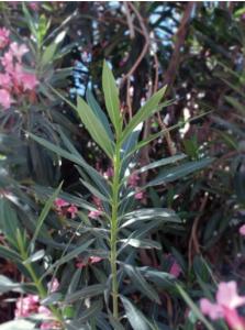 Oleander (hirduf)