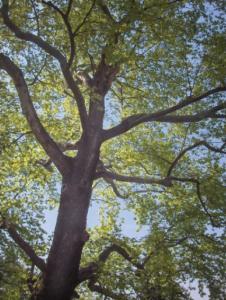 Oriental plane tree (dulva)