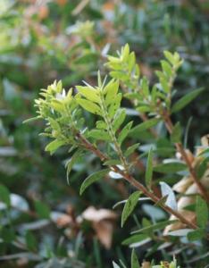 Wild myrtle branch