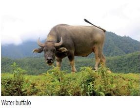 waterbuffalo